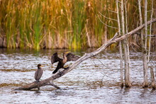 Pair Of Great Black Cormorants Perched On Dry Wood In Marsh With One Bird Spreading Its Wings To Dry During A Fall Morning, Neuville, Quebec, Canada