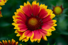 Red And Yellow Flower 2