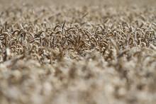 Korn Kurz Vor Der Ernte