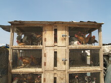 Chickens In Unhygienic Cage Of...