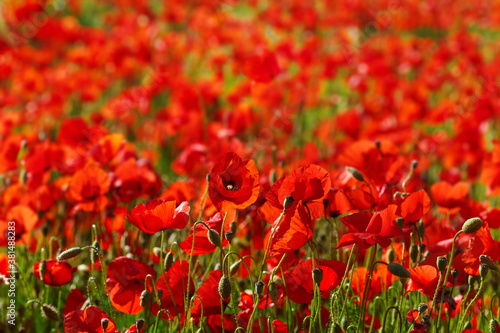 Obraz Red poppies flowers blooming in a wild field - fototapety do salonu