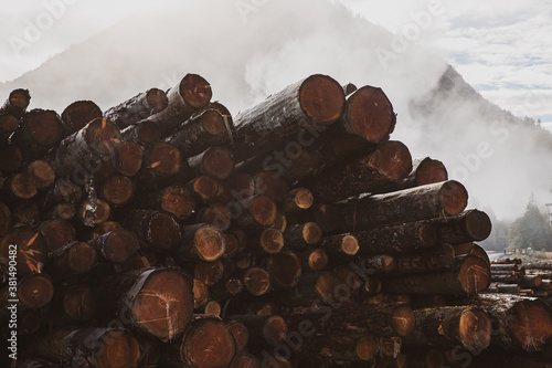 Fotomural A stack of cut trees lays wet in a pile at a lumber yard after being logged from
