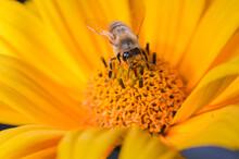 Bee Pollinates Yellow Flower/p...