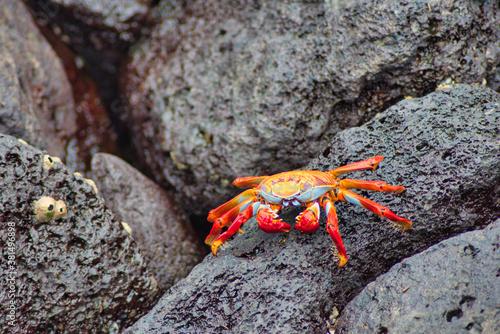Obraz na plátně Cangrejos de las islas Galapagos en ecuador