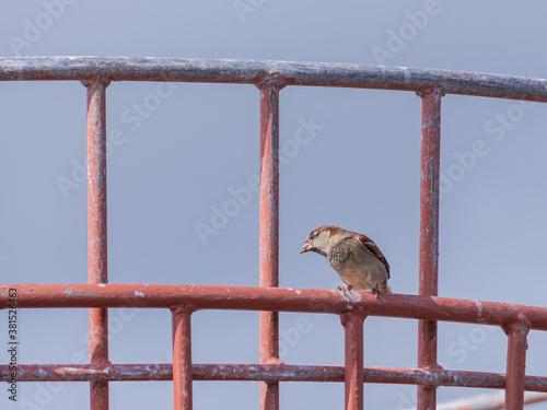 Fotomural bird sparrow on metal basket passer domesticus..
