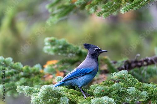 Fotografie, Obraz A stellar jay blue bird perched on a pine tree in Rocky Mountain National Park i