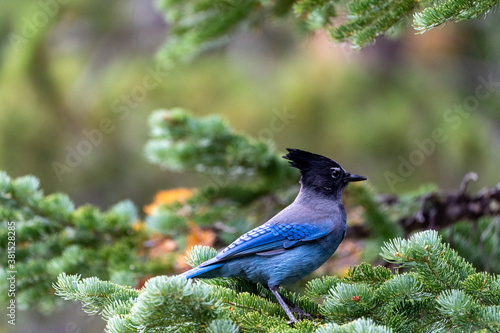 Fototapeta A stellar jay blue bird perched on a pine tree in Rocky Mountain National Park i