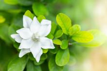 Pretty Gardenia Flower (Garden...