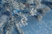 Frozen Pine Branch Close-up. F...