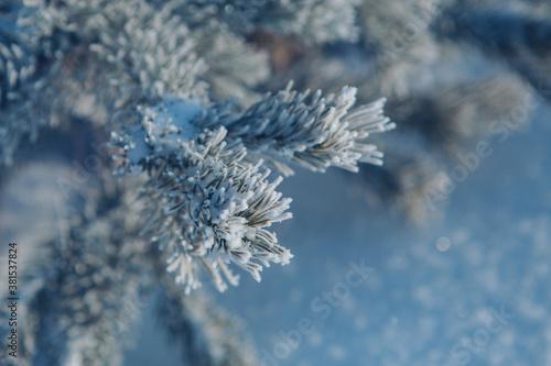 frozen pine branch close-up Tapéta, Fotótapéta