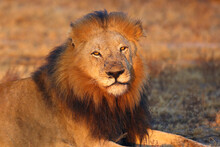 The Transvaal Lion (Panthera L...