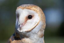 Night Bird Barn Owl