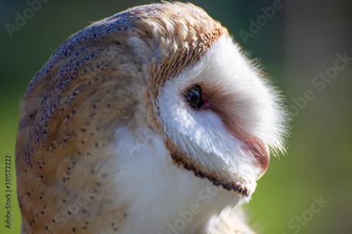 Fotomural barn owl nocturnal bird of prey