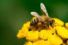 A Bee On A Pajma Flower