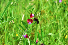 Closeup Of A Carpenter Bee On A Sweet Pea Flower In A Field Under The Sunlight