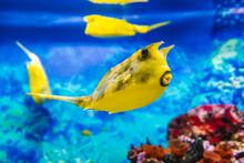 Yellow Longhorn Cowfish Fish Swims In Blue Water In An Aquarium