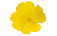 Evening Primrose Flower Isolated