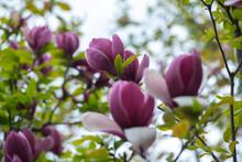 Nice Pink Magnolia Tree Flower...
