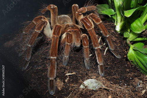 Photographie a large brown spider with villi of the genus theraphosa stirmi sits on the ground next to green plants in a terrarium