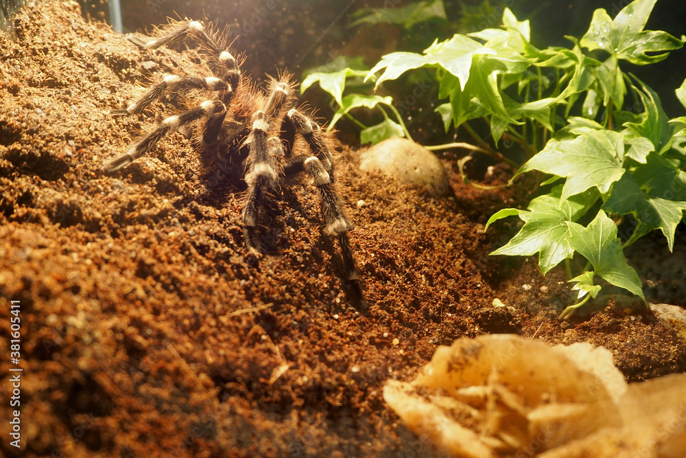 Fototapeta a large black spider with white stripes and villi from the genus Acanthoscurria brocklehursti crawls on the ground in a glass terrarium side view . large spider