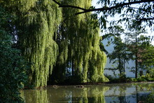 Giant Willow At A Pond Is Ref...