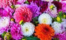 Dahlia Chrysanthemum Colorful ...
