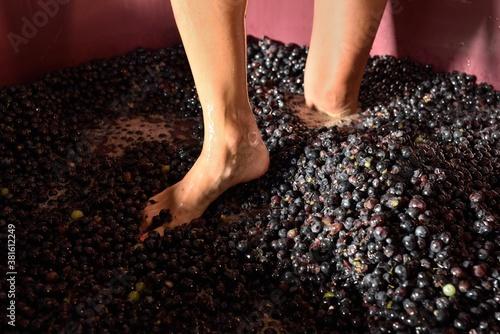 Photo WINE raccolta pestaggio uva  vino biologico