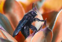 Violet Carpenter Bee, Xylocopa...