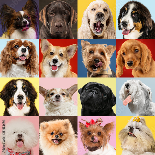 Fototapety, obrazy: Stylish adorable dogs posing. Cute doggies or pets happy. The different purebred puppies. Creative collage isolated on multicolored studio background. Front view, modern design. Various breeds.