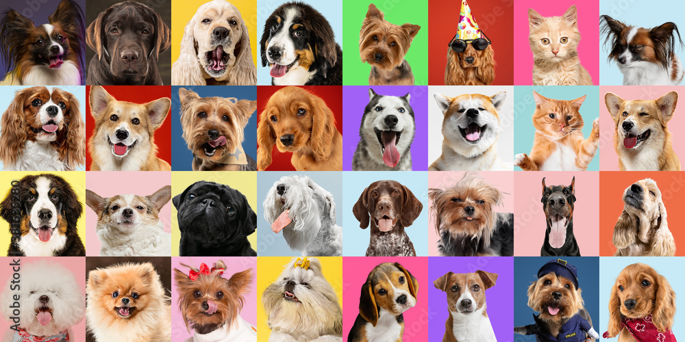 Fototapeta Stylish adorable dogs and cats posing. Cute pets happy. The different purebred puppies and cats. Art collage isolated on multicolored studio background. Front view, modern design. Vatious breeds.