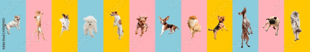 Fototapeta Cute dogs and cat jumping, playing, flying, looking happy isolated on colorful or gradient background. Studio. Creative collage of different breeds of dogs and one cat. Flyer for your ad, copyspace.