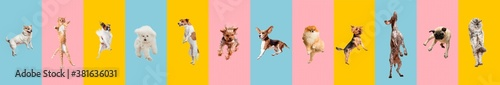 Fototapeta Cute dogs and cat jumping, playing, flying, looking happy isolated on colorful or gradient background. Studio. Creative collage of different breeds of dogs and one cat. Flyer for your ad, copyspace. obraz