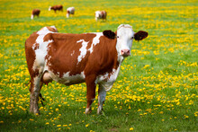 Brown And White Spotted Cows On A Spring Pasture, Covered With Yellow Flowers. Spring Theme, Natural Agriculture.