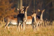 Herd Of Young Fallow Deer, Dam...