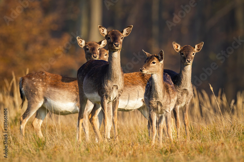 Herd of young fallow deer, dama dama, standing on meadow in autumn Canvas Print