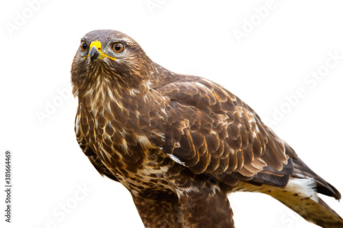 Fotomural Majestic common buzzard, buteo buteo, sitting in nature cut out on blank