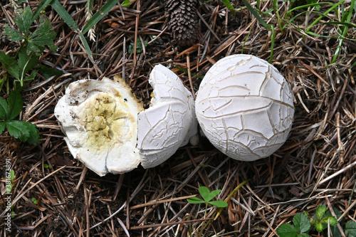 Photo Mushroom Lycoperdon utriforme, common name handkea utriformis, mosaic puffball g