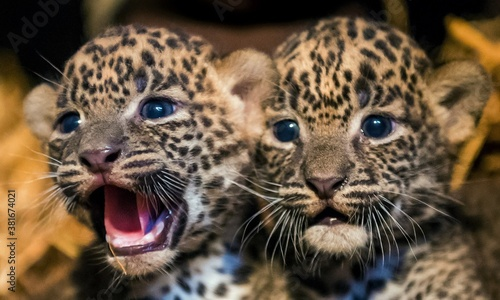 Slika na platnu Two little leopard cubs looking at the camera