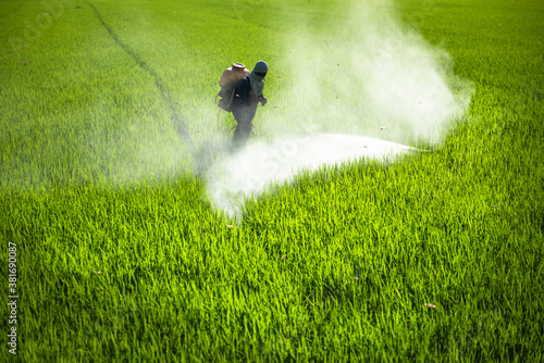Fototapeta Farmer spraying pesticides in rice fields. obraz
