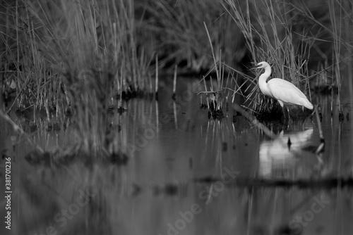 Fototapeta Little Egret in its habitat at Asker marsh, Bahrain
