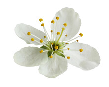 Plum Blossom Isolated On A Whi...