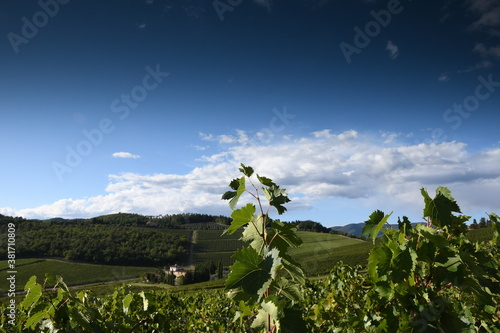 green vine leaves in Tuscany with blue sky. Italy