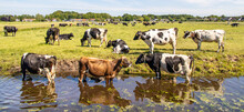 Cooling Down, Group Of Cows Going To Swim, Standing In A Creek, Drinking, On The Banks Of A Pasture