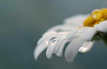 Beautiful Drop Of Water On A White Daisy, Blurred Background, Reflection In A Drop, Macro.