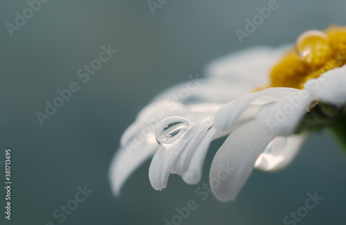 Photo Beautiful drop of water on a white daisy, blurred background, reflection in a drop, macro