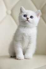 British Shorthair Kitten Of Silver Color.