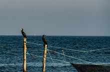 Two Great Black Cormorants Resting On Fishing Net Poles By The Sea.
