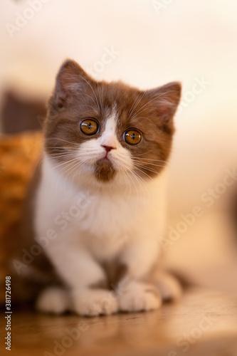 Fototapety, obrazy: Britisch Kurzhaar Katze Kitten romantisch und edel