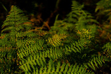 Green Fern In The Autumn In The Forest , Selective Sharpness, Low-key Photography