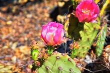 Prickly Pear Cactus Opuntia Ca...